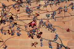 Horizontal image of brick background covered with berries and Fall leaves Royalty Free Stock Photos