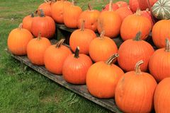 Horizontal image of bright and colorful pumpkins and squash on wood pallets at market Royalty Free Stock Image