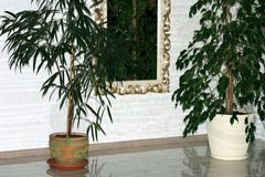 Horizontal image of a bright living room with two large house plants, Ficus Benjamina and Schefflera Compacta, standing between a royalty free stock image