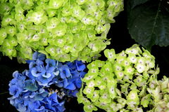 Horizontal image of colorful and fragrant Hydrangea Stock Photo
