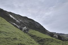 Faroese landscape with young lamb playing around royalty free stock images