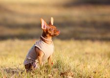 Cute red puppy sits on the street in profile. Beautiful little dog posing on a background of autumn in the grass. royalty free stock photos