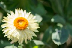 Horizontal image of an orange flower with yellow petals with a s. Oft bokeh green background image with some space for text stock image