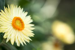 Horizontal image of an orange flower with yellow petals with a s. Oft bokeh green background image with some space for text stock photo