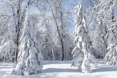 Pure white snow covered spruce trees in the park. Horizontal image of pure white snow covered spruce trees on a cold winter day Royalty Free Stock Photography