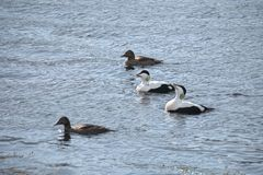 Adult Somateria mollissima common eider, Eiderente birds playing with youngsters. stock photo