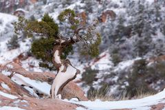 Horizontal image of a snow covered wind twisted juniper tree growing on top of a red sandstone boulder.  royalty free stock image
