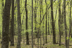 Horizontal image of springtime deciduous forest, Valley Falls, V Stock Images