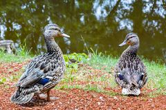 Two canadian ducks sitting together by a pond. Horizontal image of two grey canadian ducks sitting together and looking at each other by the pond in the spring Royalty Free Stock Image
