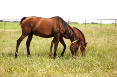 Horizontal image of two thoroughbred horses eating on a green meadow. Stock Image
