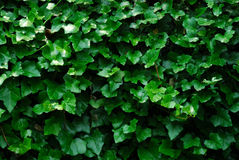 Horizontal Ivy Background Royalty Free Stock Photo