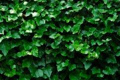 Horizontal Ivy Background Royalty Free Stock Photo