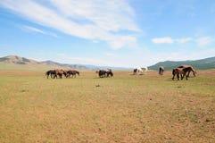 Horizontal mongol avec les chevaux sauvages Images stock