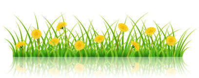 Horizontal nature banner with grass and dandelion flower. Horizontal spring banner with realistic green grass, yellow dandelion flowers,  on white. Vector Stock Photo