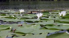 Horizontal panorama.Beautiful white water lily and tropical climates. White water lily. Water surface.The artist`s view.Members of this family are commonly stock video