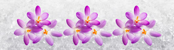 Horizontal panorama with Crocus flowers Stock Photos