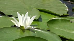Horizontal panorama.White water lily.Beautiful white water lily and tropical climates.Water surface. White water lily in a pond. Lotus flower. Water lily stock video