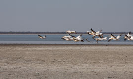 Horizontal pelicans flying Stock Photos