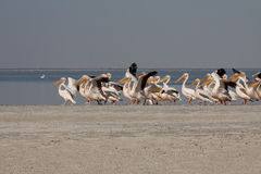 Horizontal pelicans starting flying Royalty Free Stock Images