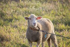 Adorable white ewe on a leash looking at camera with curiosity, in a field of grass. Cute sheep with friendly face. Horizontal photo of an adorable white ewe on royalty free stock image
