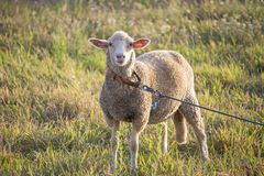 Curious white ewe on a leash looking directly at camera, in a field of grass. Cute sheep with friendly face. Horizontal photo of an adorable white ewe on a stock photography
