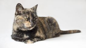 Annoyed looking tortoiseshell cat staring displeased at something outside camera view. Isolated cat in white background. Horizontal photo of annoyed looking royalty free stock images