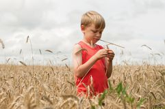 Boy and a spike in a rural field. Horizontal photo of a boy with a spike in his mouth standing in a rural field during the harvest stock photography