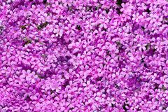 Top view on many purple blooms which fills complete space of photo Stock Photos