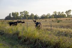 Horizontal photo of cattle in a Kansas field at sunset. Great digital background photo for multiple needs Royalty Free Stock Image