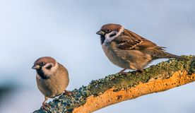 Single male and female sparrows perched on dry twig. Horizontal photo with couple of sparrow birds. The male is in focus with nice brown, white and black Royalty Free Stock Image