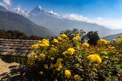 Horizontal photo of Fish Tail peak Machapuchare against blue sky with yellow flowers as foreground, Himalayas royalty free stock images
