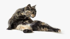 Funny tortoiseshell cat in silly pose looking at something outside view. Contortionist cat isolated in white background. Horizontal photo of funny tortoiseshell royalty free stock photo