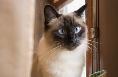 Gorgeous siamese cat with beautiful blue eyes looking attentively at something out of camera, next to wooden window. Horizontal photo of gorgeous siamese cat stock photos