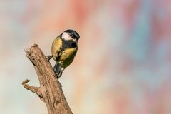 Female great tit songbird perched on dry worn twig. Horizontal photo of great tit songbird. Bird has black, yellow and white feathers. Animal is perched on dry Stock Photos