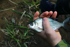 Sad fish caught in the city river, lies in the hand of a fisherman stock photography
