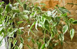 White and green ficus foliage close-up on the blurred background of red brick wall royalty free stock photography