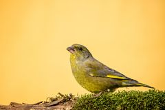 Colorful male greenfinch sit on dry twig covered by moss Royalty Free Stock Image