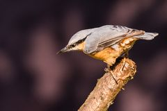 Nice single Nuthatch bird perched on twig Royalty Free Stock Image