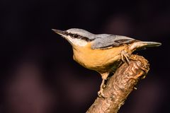 Nice single male Nuthatch perched on twig Stock Image