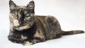 Senior female tortoiseshell cat lying down and staring judgingly at camera. Isolated cat in white background. Horizontal photo of a senior female tortoiseshell royalty free stock photos