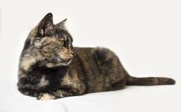 Senior tortoiseshell cat lying down and looking attentively to the right. Isolated cat in white background. Horizontal photo of senior tortoiseshell cat lying stock image