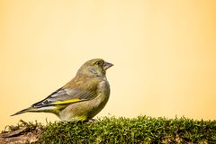 One male greenfinch bird sits on branch covered by moss Royalty Free Stock Images