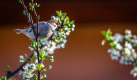Adult male sparrow perched on cherry branch with many blooms. Horizontal photo of single male sparrow. Bird is perched on the twig of cherry tree. The branch is Royalty Free Stock Images