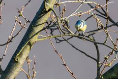 Small male bluetit looks down from tree granch Stock Photography