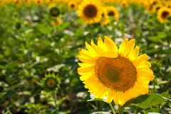 Horizontal photo of a sunflower field. Sunflower field with focus on one central flower in front and blurred background Stock Photos