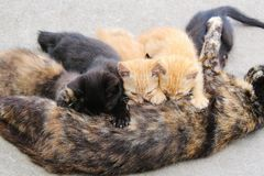 Tortoiseshell cat mom nursing young litter of stray kittens. Horizontal photo of tortoiseshell cat mom nursing young litter of stray kittens. One tortoiseshell stock images