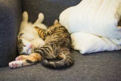 Two few weeks old kittens are sleeping on grey armchair royalty free stock images