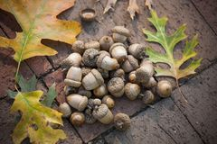 Acorns in a Pile with Autumn Leaves royalty free stock photo