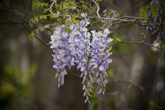 Wisteria Hanging from a Branch Stock Photos