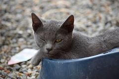 Blue cat with golden yellow eyes winking royalty free stock images